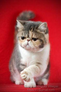 Exotic II by RodriguezVillegas on deviantART - Grumpy Cat!