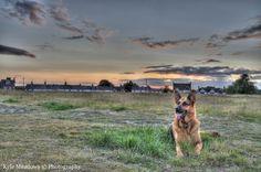 German Shepherd at Sunset (HDR) | Flickr