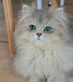 What do you need to know before considering Persian cat adoption? Kittens And Puppies, Cute Cats And Kittens, Kittens Cutest, Kitten Love, I Love Cats, Crazy Cats, Pretty Cats, Beautiful Cats, Here Kitty Kitty