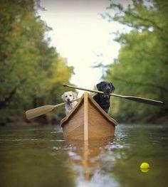 Toujours ramer, ramer... quelle vie de chien ! / Labradors.