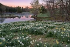 """oix: """"Daffies at Dawn by romiana70 on Flickr."""""""