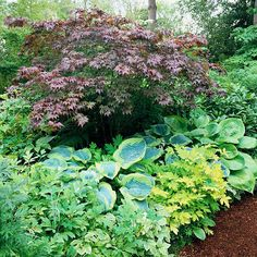 Create Interesting Vignettes  Sprinkle your shade garden with a few stunning plant combinations to act as focal points. Here, a Japanese maple is a perfect companion for a couple of types of hosta and 'Gold Heart' bleeding heart.    Test Garden Tip: Hostas usually have a coarse texture, so you can't go wrong by mixing them with fine-textured plants.