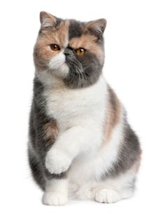 """scottish folds are such assholes""...(Please note I have no personal experiences that would lead me to agree or disagree with the previous Pinners statement-VM) Cats are funny."