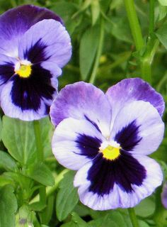 Pansies - flowers Photo currently doing for watercolor pencils!