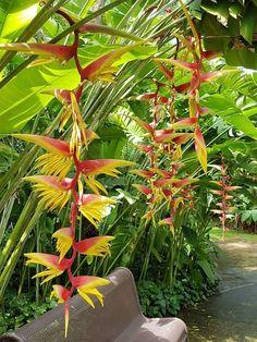 heliconia chartagea x platystachys ' temptress' angel wings Tropical Garden Design, Tropical Backyard, Tropical Landscaping, Backyard Landscaping, Tropical Flowers, Tropical Plants, Unusual Flowers, Wonderful Flowers, Balinese Garden