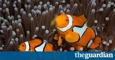 Researchers say some of the fish also known as anemonefish display individual personalities but others act more as a group