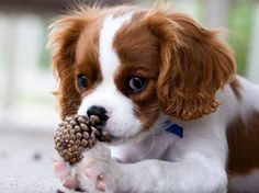 Amazing history of dog breed - Cavalier King Charles Spaniel. Diseases of Cavalier King Charles Spaniel. Cavalier King Charles Spaniel, King Charles Puppy, Rei Charles, Cute Puppies, Cute Dogs, Spaniel Puppies, Beautiful Dogs, I Love Dogs, Best Dogs