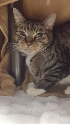 """Gabby 33525 SENIOR GABBY is an older girl who was surrendered to the shelter by her owner. She is hoping to find her new """"purrson"""" who will take her home and give her lots of TLC."""