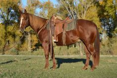 Northern Sport Model ~ Big Pretty Ranch Gelding - For more information click on the image or see ad # 32148 on www.RanchWorldAds.com