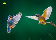 Baby Kingfisher and Her Mom by Kant Liang on 500px