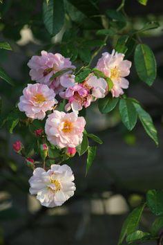コーネリアの秋の花