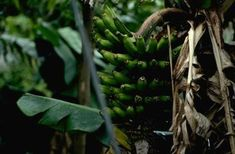 Best 25 Banana Plants Ideas On Pinterest Grow Banana
