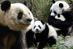 Endangered pandas make a comeback as Chinese conservation efforts ...