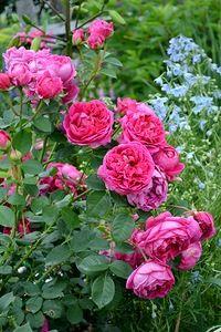 Купить розы fritz nobis минск какой необычный подарок сделать жене