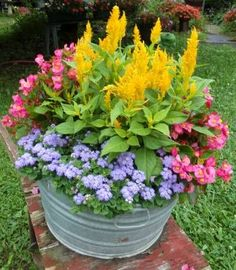 I love to try different combinations in my containers and usually come up with a few new ones each year. Here's one I had never tried before: blue ageratum, pink begonias and yellow celosia. What