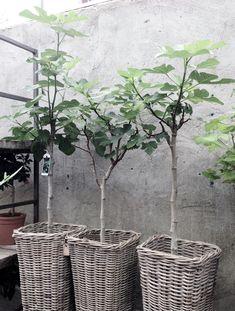 Fig trees  wicker baskets   concrete wall