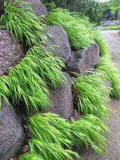 Rotary Botanical Gardens - Hort Blog: Golden Forest Grass For Impact