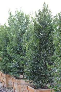 Prunus caroliniana 'Bright n Tight', 8-10' high x 6-8' wide, full sun, moderate water
