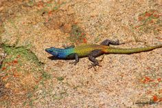 Bloukop koggelmander or Rainbow Lizards, Matopos, Zimbabwe John Rhodes, David Livingstone, My Past, Reptiles And Amphibians, Its A Wonderful Life, Old Boys, Best Memories, Animal Pictures, South Africa