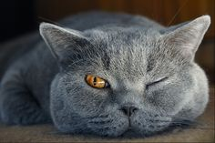 keeping an eye on you.I love grey cats. Blue Cats, Grey Cats, I Love Cats, Cool Cats, Stuffed Animals, Gatos Cat, Animal Gato, Photo Chat, British Shorthair