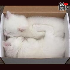 white kittens in a box!! Oh my I would love that present.
