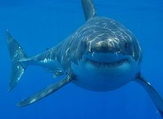 Great white shark population increasing off East Coast and Canada :: Tech Times (He looks like he's grinning)