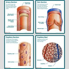 Buy medical educational anatomy posters and anatomical models for, Acupuncture,Chiropractic,Veterinary and more. Thousands to choose from. Nursing Classes, Nursing Student Tips, Nursing Notes, Human Body Anatomy, Human Anatomy And Physiology, Blood Vessels Anatomy, Ultrasound School, Vascular Ultrasound, Medical Photos