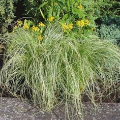 This caryx grass is a medium height and is evergreen!