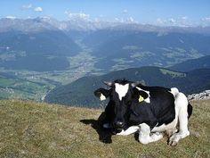 EQUILÍBRIO: A parábola da vaca, autoria desconhecida