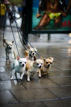 Chihuahuas on the street -- i can't wait to have a little herd of tiny dogs someday when i live on a farm with my petting zoo :)