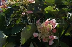 Rose Sensation False Hydrangea Vine Schizophragma Hydrangeoides