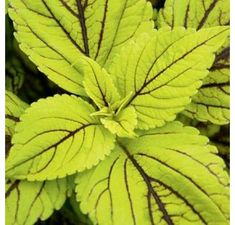 Proven Winners - Gays Delight - Coleus - Solenostemon scutellarioides plant details, information and resources. Shade Garden, Garden Plants, Indoor Plants, Inside Plants, Proven Winners, Colorful Plants, Tropical, Farm Gardens, Types Of Plants