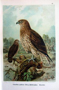 Ancient original Common Buzzard color lithograph vintage