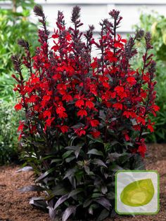 Vulcan Red Cardinal Perennial Live Plant - Lobelia - Very Hardy - Quart Pot Large Flowers, Red Flowers, Garden Boxes, Live Plants, Hanging Baskets, Flower Beds, Scarlet, Perennials, Planting Flowers