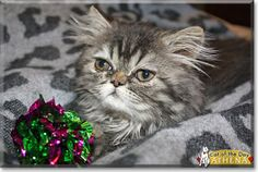 Athena the Persian from Massachusetts is today's Cat of the Day! Read Athena's story and see her photos at http://CatoftheDay.com/archive/2014/May/12.html .