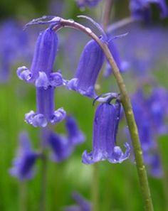 Iridescent Summer - The Mysterious Mermaid light summer Blue Flowers, Wild Flowers, English Bluebells, Woodland Plants, Woodland Garden, Fairy Ring, Fairy Houses, Faeries, Iridescent