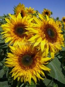 What Technique Gives Optimum Sunflower Vaselife? Recipes for vase life of cut flowers are as numerous as stew recipes. There are literally dozens of suggestions and testimonials about how sunflower Giant Sunflower, Sunflower Garden, Sunflower Bouquets, Sunflower Seeds, Types Of Sunflowers, Growing Sunflowers, Planting Sunflowers, Orange Flowers, Cut Flowers