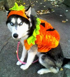 I know it's mean, but the look on dogs faces when you put them in costumes is priceless!