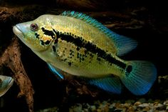 Wolf Cichlid | Central American | American Cichlids | Fish | Smiths Aquarium