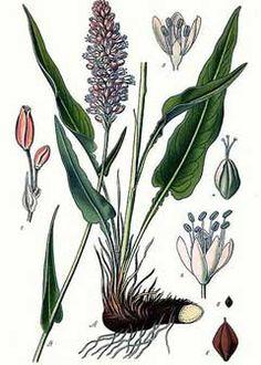 Polygonum bistorta Bistort, Meadow bistort, Snakeweed