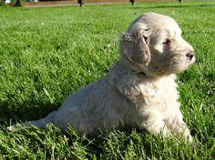 Goldendoodle Mini, a super cute dog, i love it very much..