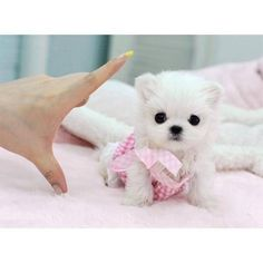 Cheese and Jam Sandwich Cross Earring Sick Leg Tattoo Teacup Maltese Puppy (preferably in a creepy little outfit)  From Dead To Worse The in the series. Maltese Puppies For Sale, Tiny Puppies, Maltese Dogs, Little Puppies, Cute Dogs And Puppies, Little Dogs, I Love Dogs, Baby Dogs, Micro Maltese