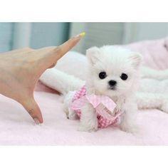 Cutest! Mini Maltese