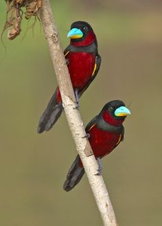Beautiful Black and Red Broadbills.