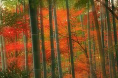 Sagano Bamboo Grove in Autumn, Arashiyama, Kyoto, Japan