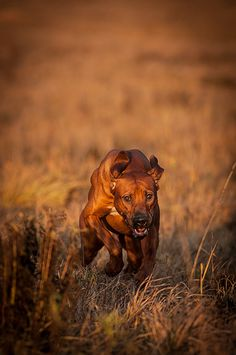 ..Rhodesian Ridgeback ... muscle machines ... designed for speed and power ... also sweet, loving and verrrry loyal family members ... <3