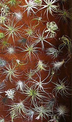 Bardessono.. Napa..Tillandsia art by Flora grubb
