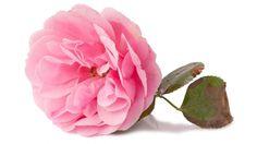 Rosa damascena, planta antiestrés y para la piel
