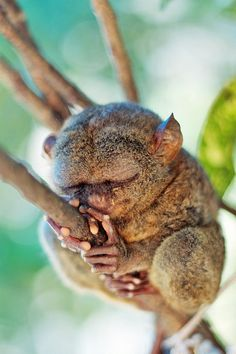 Endangered Tarsier by Jeremy Villasis  | Every birthday Gigeo greeting you send from http://WhoLovesYou.ME helps animals world wide. | LIKE us on http://www.facebook.com/BirthdayGigeo and help protect the world's wildlife. | #animalphotos #IFAW
