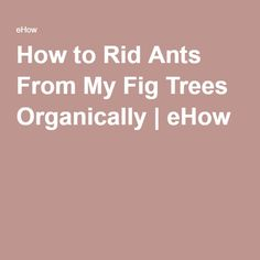 Fig trees produce delicious fruit for people to enjoy. Unfortunately, ants love them as much as people do. Getting rid of those ants organically is not hard to accomplish. With a little patience, you can have a fig tree that is free from ants. Rid Ants, Organic Lawn Care, Fig Tree, Delicious Fruit, Flora, Trees, Gardening, Modern, Ficus
